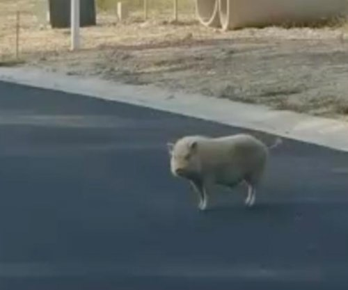 Mysterious white pig loose in Virginia neighborhood
