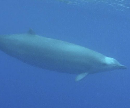 Beaked whales observed coordinating deep dives