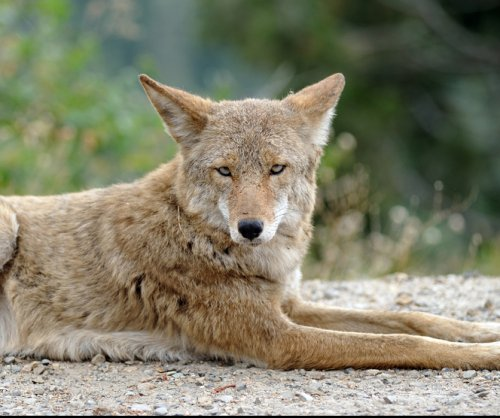 National Park Service seeking volunteers to pick up coyotes' excrement