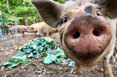 World Pork Expo canceled over fear of African swine fever entering U.S.