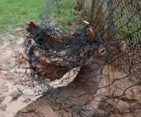 Deer found caught in net near rugby field in England