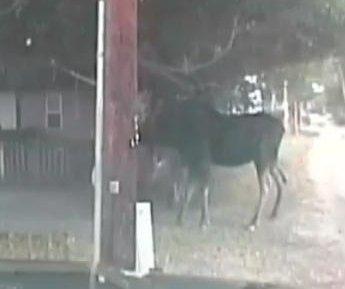 Deputies use Taser to rescue moose from hammock
