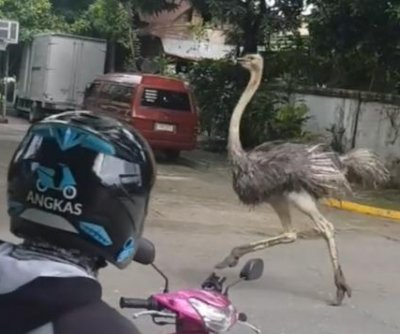 Escaped ostrich runs loose through residential neighborhood