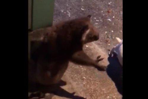 Koala perches on home's back door, growls at dog