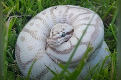 Watch:-Python-feared-on-the-loose-in-Scottish-neighborhood