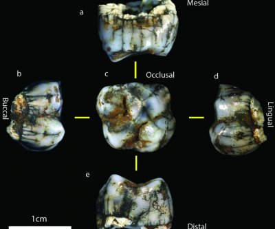 Two new hominin fossils found in South African cave