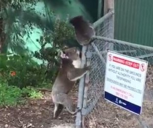 Mother koala helps joey stranded atop wire fence