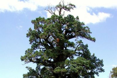 Donnell Fire threatens largest U.S. juniper tree