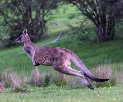 Escaped kangaroo on the loose in Mississippi