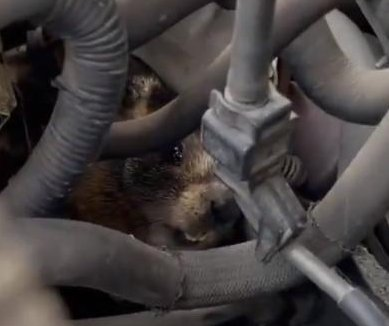 Marmot rescued from engine compartment of Utah woman's car