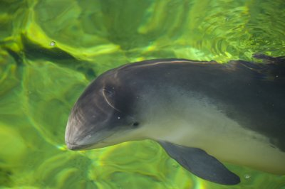 Use of 'pingers' in fishing nets reduces accidental catch of porpoises