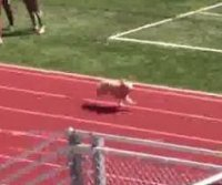 Dog joins Utah track meet relay race, wins