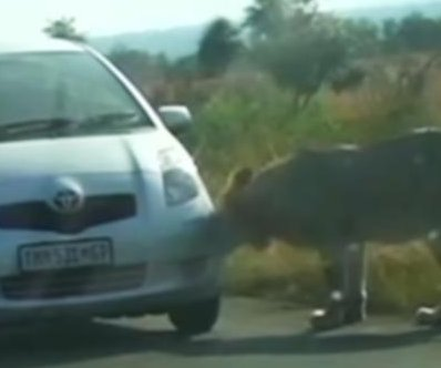Lion's bite flattens car's front tire in South Africa