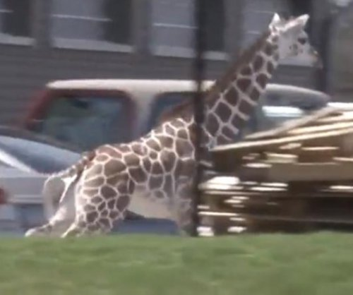 Giraffe escapes Indiana zoo enclosure, runs loose for 2 hours