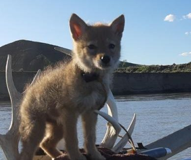 Man on rafting trip rescues coyote pup from drowning
