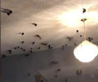 Hundreds of migratory birds take over interior of California home