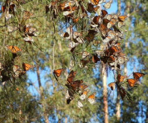 Monarch butterflies disappearing from western U.S., researchers say