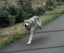 Wolf chases car for over a mile on rural British Columbia road