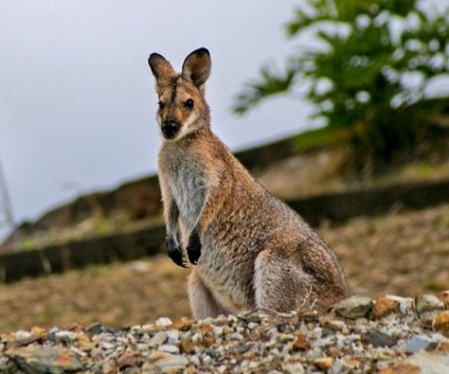 Wallaby on the loose after escape from British zoo