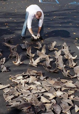 Ban on shark finning missing from latest draft of Trans-Pacific Partnership
