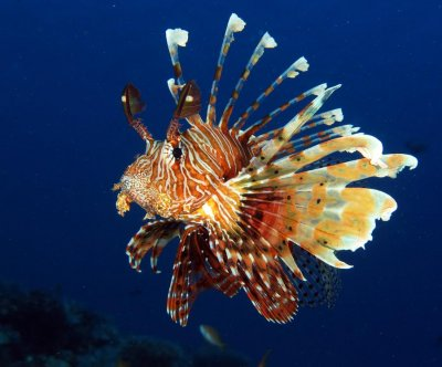 Florida Whole Foods to sell invasive lionfish