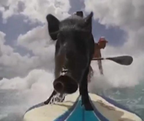 Third-generation surfing pig makes debut in Hawaii