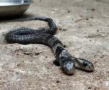 Two-headed cobra discovered in Indian village