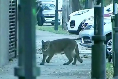 Watch:-Wild-cougar-wanders-empty-streets-of-Chile's-capital