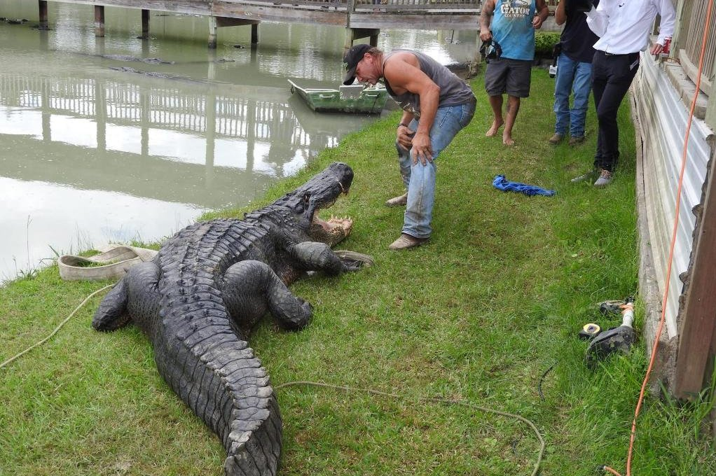 watch alligator removed from champion lake is texas state record