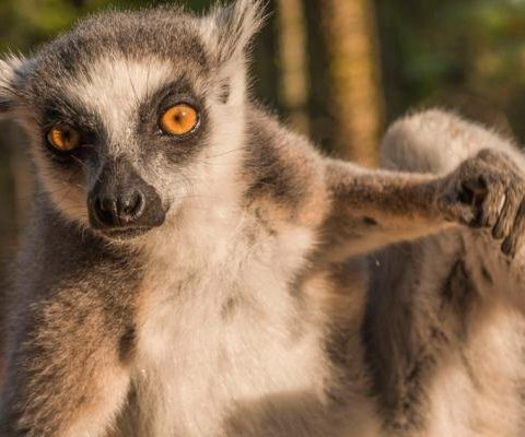 Ring-tailed lemurs engage in stink-flirting to attract mates