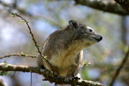 Nighttime barking reveals new species of tree hyrax in Africa