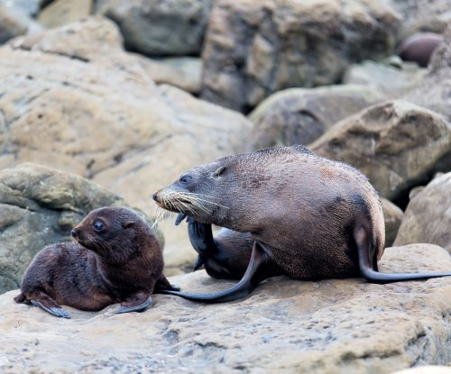 Scientists aren't sure what's killing Guadalupe fur seals