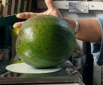 Hawaii family's 5.6-pound avocado certified as world's largest