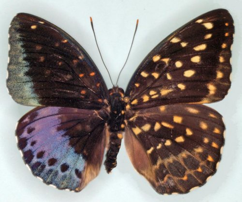 Biologists discover cross-dressing butterfly