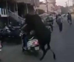 Amorous bull's mating attempt with motor scooter goes awry