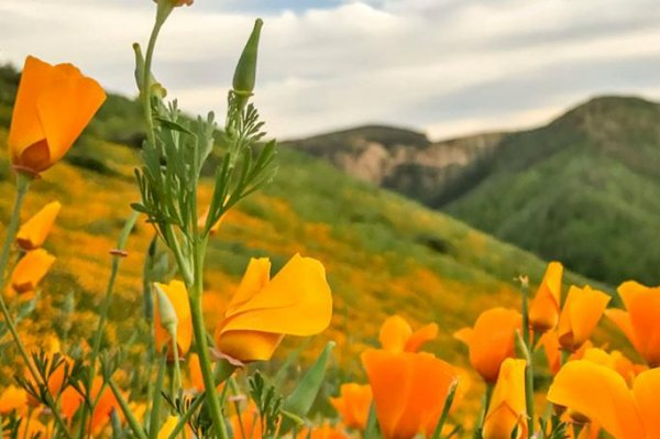 Lake Elsinore, Calif., poppy field temporarily closed amid ...