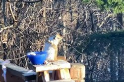 Minnesota squirrel appears drunk after eating old pear