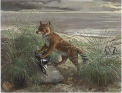DNA helps explain Falkland Islands wolves