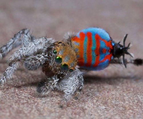 Two new peacock spiders discovered in Australia