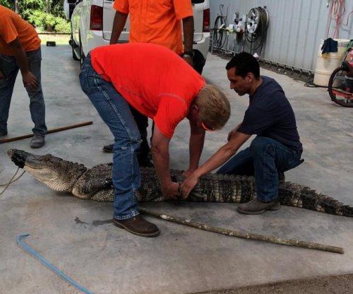 Authorities capture 'aggressive' Texas gator