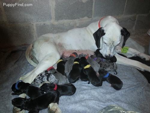 Great Dane delivers huge litter of 19 puppies