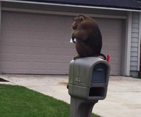 Mail-eating monkey swings from street sign, pulls molding from police car