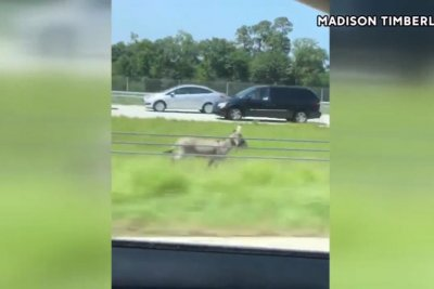 Donkey runs loose next to Texas highway
