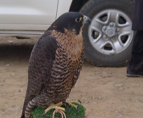 Arab princes flout hunting ban on vulnerable birds, official says