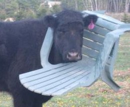 Firefighters respond to cow with chair on its head