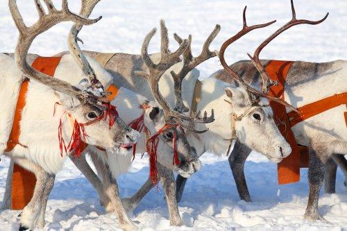 Anthrax outbreak in Arctic Circle kills 1, sickens 71; reindeer die en masse