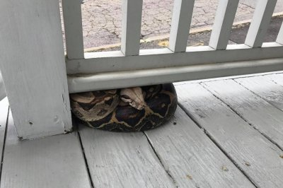 Authorities capture mysterious boa constrictor on Maine porch