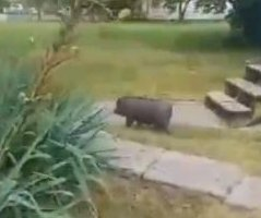 Watch: 'Uncatchable pig' gives Missouri police the slip