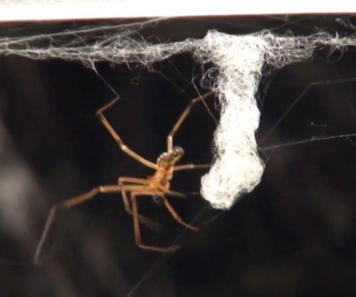 Male black widow spiders destroy females' webs to deter rivals