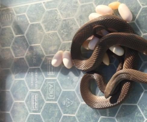 Pregnant snake found under Australian woman's refrigerator